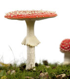 Fly agaric or fly Amanita mushrooms Royalty Free Stock Photography