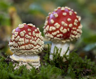 Fly agaric or fly Amanita mushrooms Stock Photography