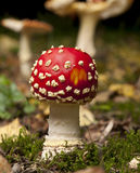 Fly agaric or fly Amanita mushrooms Royalty Free Stock Photos