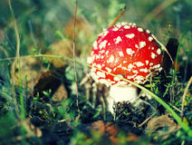 Fly agaric or fly Amanita poisonous mushroom Stock Photo