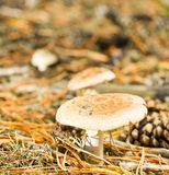 Fly-agaric in the forest. In sunny weather royalty free stock image