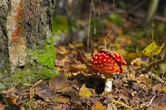 Fly-agaric in a forest Stock Photo