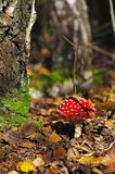Fly-agaric in a forest Royalty Free Stock Photos