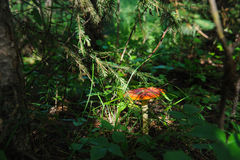 Fly agaric stock photography