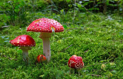 Fly-agaric in forest . Stock Photos
