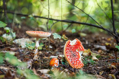 Fly agaric in the forest. Film photography: fly agaric on the background of the forest floor Royalty Free Stock Images