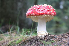 Fly agaric. On the forest floor Royalty Free Stock Image