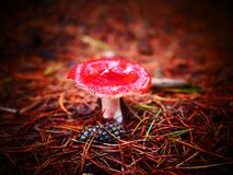 Fly agaric at the forest floor stock photography