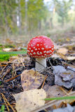 Fly agaric in the forest Royalty Free Stock Images