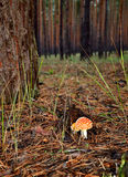 Fly agaric in the forest vertical. Fly agaric in the forest on the trunks of pine trees background Royalty Free Stock Photos