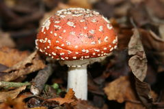 Fly agaric fungi Royalty Free Stock Images