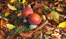 Fly Agaric Fungi amongst fallen leaves Stock Photos