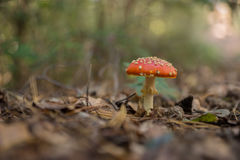 Fly Agaric Fungi in the forest Stock Photos
