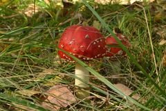 Fly agaric. In the grass, an inedible mushroom, red cap, white stem, forest, autumn, nature, seasons Stock Photography