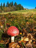 Fly agaric little Stock Images