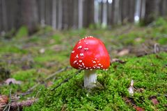 Fly-agaric magic mushroom in woods stock photography