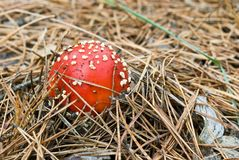 Fly-agaric mushroom Stock Photo