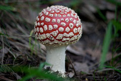 Fly Agaric  - Mushroom Royalty Free Stock Photography
