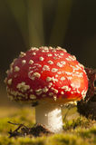 Fly agaric mushroom Royalty Free Stock Photo