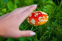 Fly agaric mushroom Stock Image
