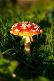Fly agaric mushroom Stock Photos