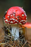 Fly agaric mushroom Royalty Free Stock Photography