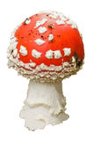 Fly-agaric mushroom Royalty Free Stock Image
