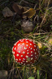 A Fly Agaric mushroom from above in September sunlight. Stock Photo