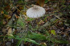 Fly agaric. Royalty Free Stock Photos