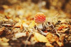 Fly agaric mushroom Royalty Free Stock Photo