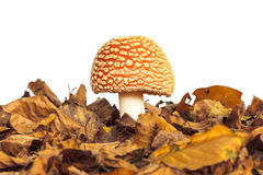 Fly agaric mushroom with autumn leaves Royalty Free Stock Photos