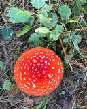 Fly agaric mushroom in birch forest,top view. Fly agaric mushroom in birch forest ,top view Royalty Free Stock Photo