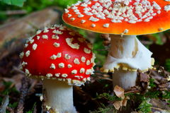 Fly agaric mushroom detail Stock Images