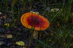 Fly agaric. Mushroom fly agaric grows from the ground close-up Stock Image