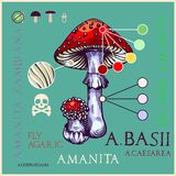 Fly agaric mushroom. In engraved style. Subscribed with characteristics and several titles. Vector illustration with infographic elements and lettering vector illustration