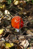 Fly agaric mushroom in a forest . Stock Photos