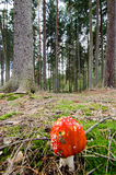 Fly agaric mushroom in the forest Royalty Free Stock Image