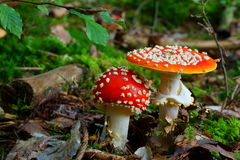 Fly agaric mushroom growing in forest Stock Photos