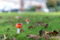 Fly agaric mushroom in grass garden. Fly agaric latin Amanita muscaria in grass garden detail stock photo