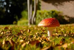 Fly agaric mushroom in grass garden. Fly agaric latin Amanita muscaria in grass garden detail royalty free stock photography