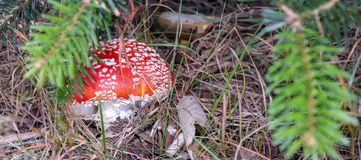 Fly-agaric mushroom hidden in grass in the forest, closeup stock photo