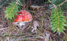 Fly-agaric mushroom hidden in grass in the forest, closeup stock image