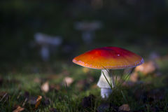 Fly agaric mushroom Stock Photo