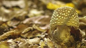 Fly agaric mushroom with a white hat in white spots. 4k, close-up.  stock video