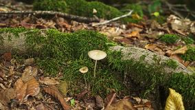 Fly agaric mushroom with a white hat in white spots. 4k, close-up.  stock video footage