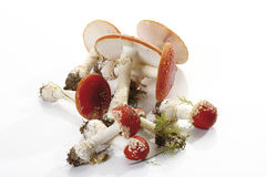 Fly agaric mushrooms (Amanita muscaria) Royalty Free Stock Images