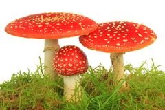 Fly agaric mushrooms (Amanita muscaria) Stock Photo