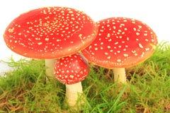 Fly agaric mushrooms (Amanita muscaria) Royalty Free Stock Photography