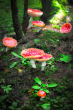Fly agaric mushrooms in forest Stock Photos