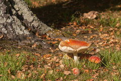 Fly agaric mushrooms growing near tree trunk Royalty Free Stock Photography
